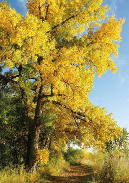 Hiking trail, fall foliage, Colorado - pic131 - Greeting Card