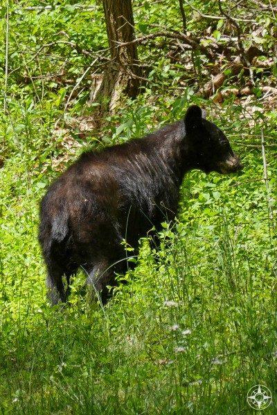 Black bear walks along Blue Ridge Parkway, near Asheville