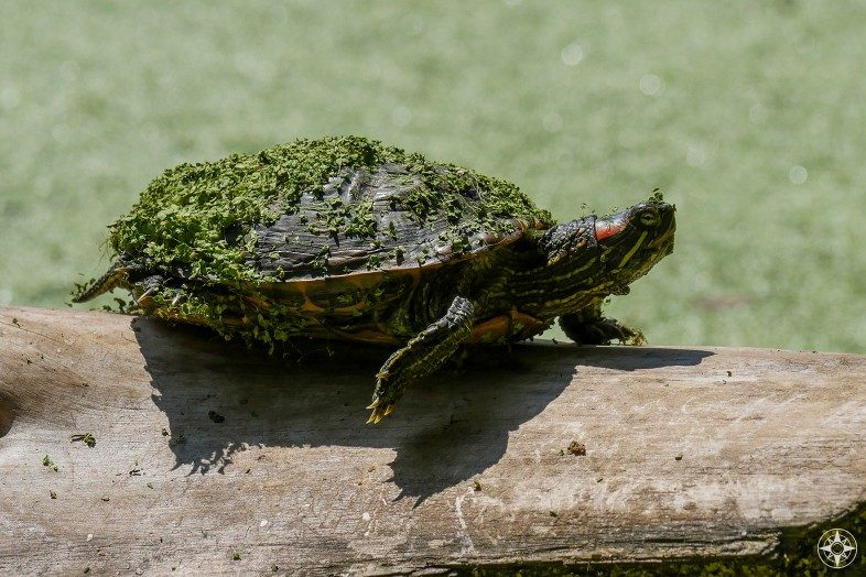 Painter turtle covered in duckweed walking on log, Prospect Park, Brooklyn, NYC
