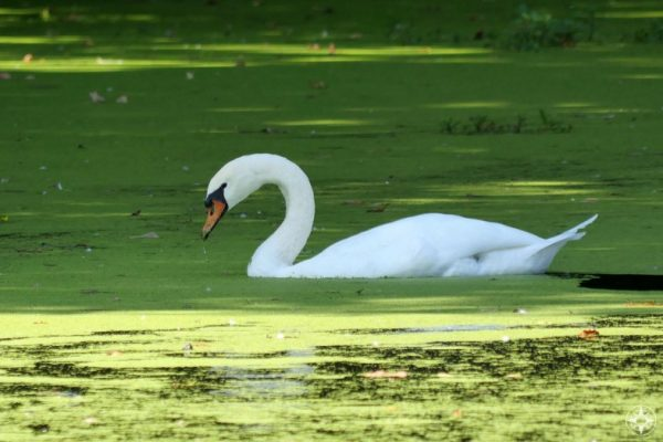Swan feeding on duck weed on the Lullwater by the Boathouse and Audubon Center