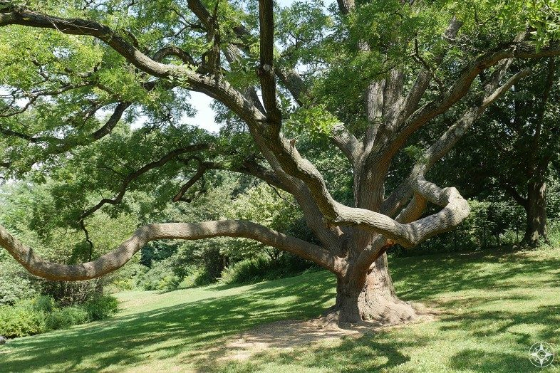 Prospect Park tree near Nellie's Lawn