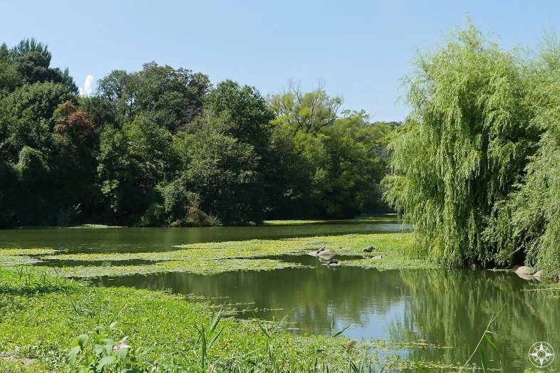 Turtles sunning by a willow tree on Prospect Park Lake sidearm, Brooklyn, NY, Happier Place