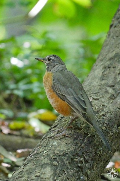 American Red Robin, Prospect Park, Brooklyn
