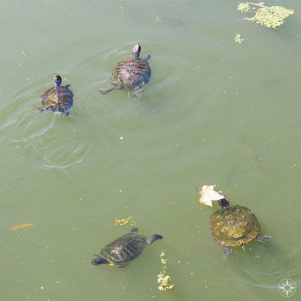 More wild turtles swimming in Prospect Park Lake, Brooklyn