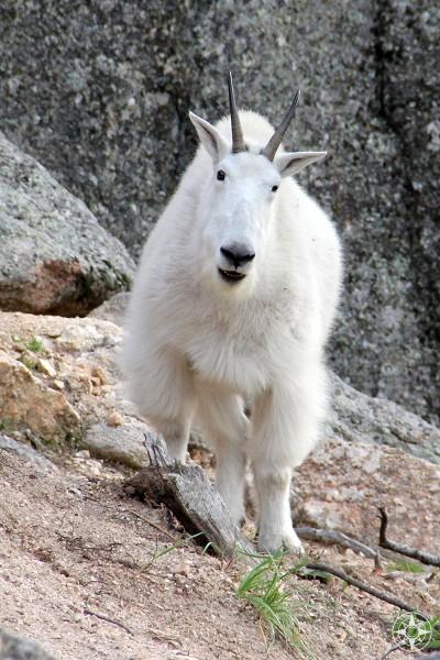Mountain Goat, Custer State Park, Black Hills, South Dakota