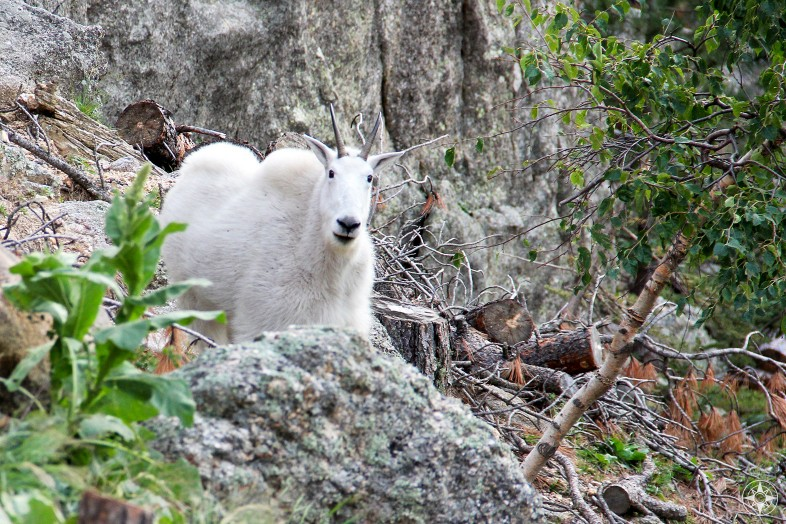 Mountain Goat, Needles Highway, Custer State Park