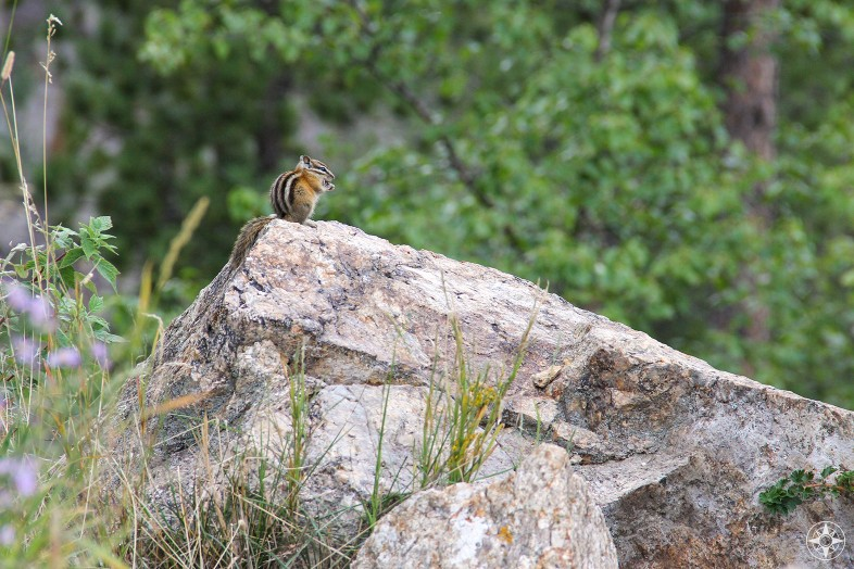 Chipmunk in South Dakota, Custer State Park, Happier Place