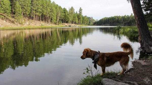 Whiskey dog at lake, Custer State park allows dogs, South Dakota, travel with dog