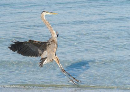 Great Blue Heron landing on the Gulf beach in Florida