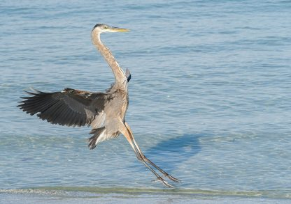Great Blue Heron landing on the Gulf beach in Florida
