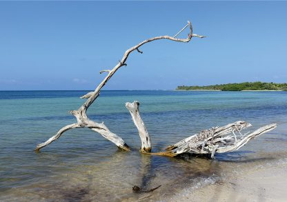 Beached tree, white tree, Caribbean Sea beach, Mexico, blue sky