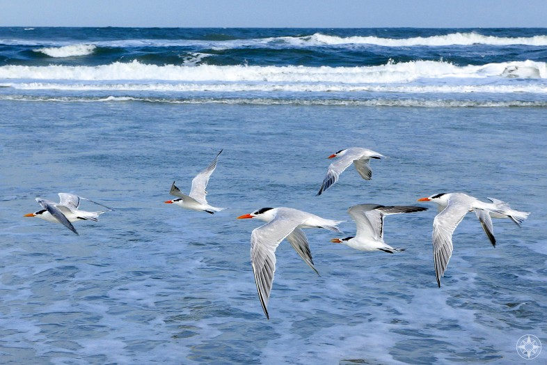 Royal Terns flying over Atlantic Ocean waves in Anastasia State Park outside St. Augustine, Florida. HappierPlace