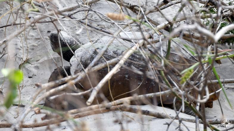 Gopher Turtle - Anastasia State Park Florida - Happier Place