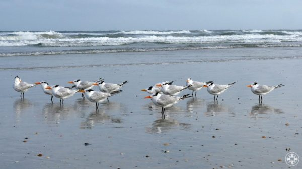 Royal Terns standing on grey Atlantic Beach on Anastasia Island, Florida, HappierPlace