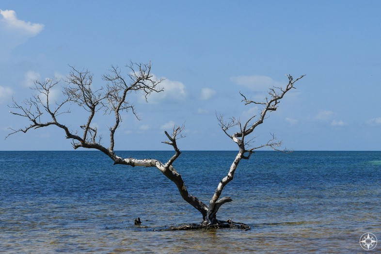 Tree standing in salt water that is not the Wanaka Tree, but a leafless tree in the Florida Keys.