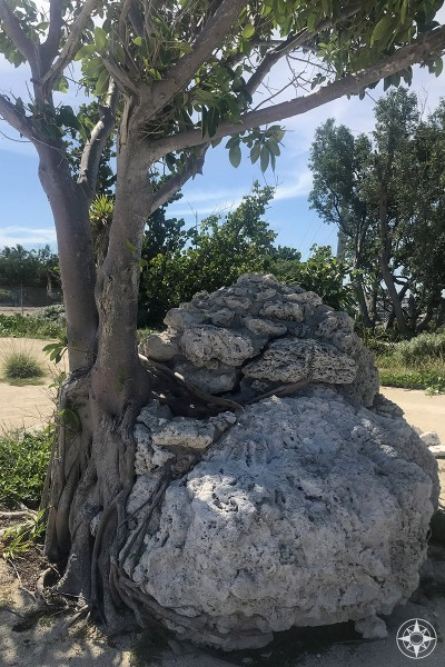 Tree wrapped around bolder on Bahia Honda Key. Happier Place. Florida.