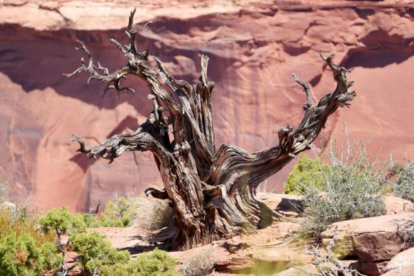Dead tree in Canyonlands National Park, Utah.