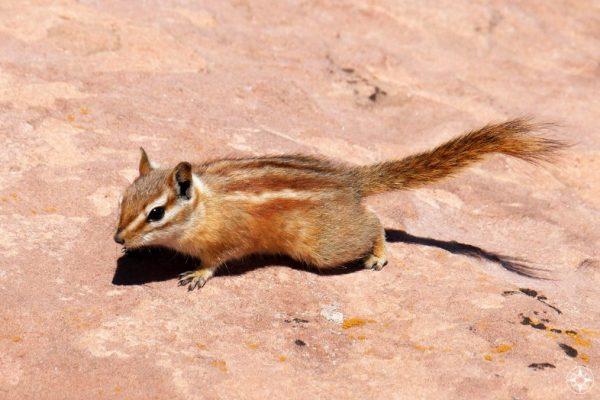 Hopi Chipmunk, native to Utah, Colorado and Arizona.