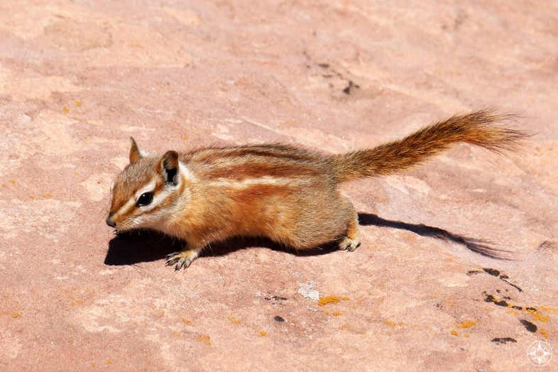 Hopi Chipmunk, native to Utah, Colorado and Arizona.