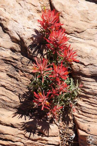 Red blooming wildflower, Indian Paintbrush  blooming between rocks in Utah.