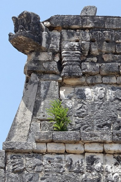A little green shrub grows on El Osario, maya ruin, Chichen Itza, nature takes back