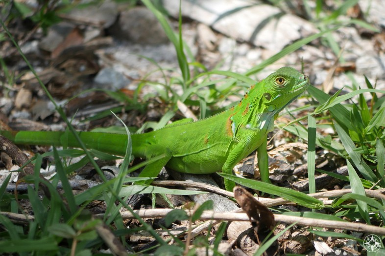 Juvenile Green Iguana or American Iguana shows off its bright green color on Key West, Fort Taylor Park