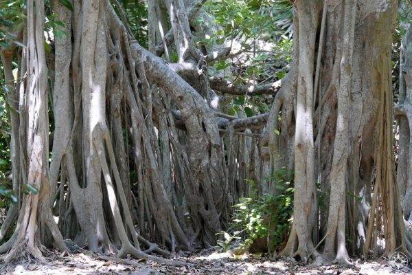 Banyan trees south of the moat of Fort Zachary Taylor, Key West