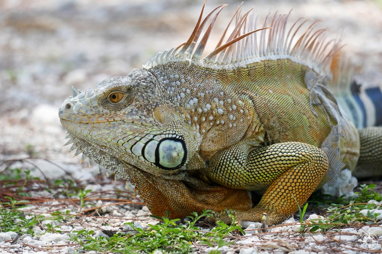 Large, colorful iguana in Fort Zachary Taylor Park, Key West, Florida