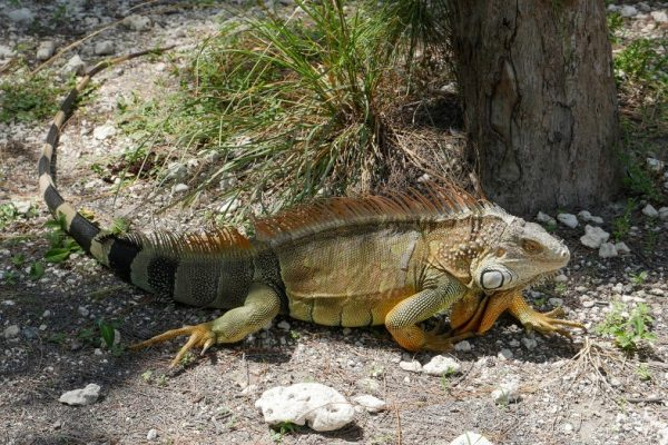 Large, colorful, adult iguana with black striped tail, spines and dewlap, called Green Iguana or American Iguana, invasive species in Key West and South Florida