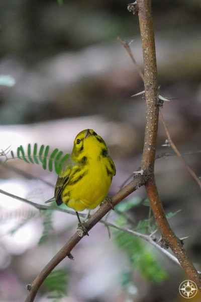 Not yellow warbler or pine warbler, but a migrating prairie warbler found in Taylor Park, Key West, Florida.