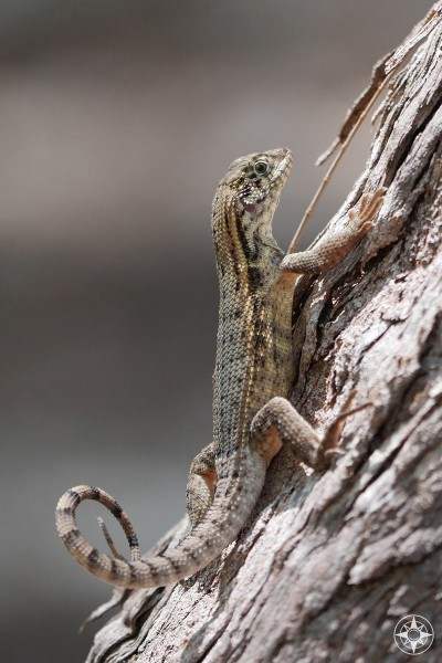 Curlytail Lizard on a tree in the Florida Keys.