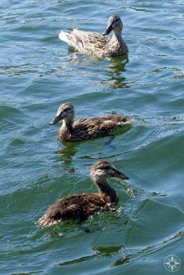 Teenage ducks on Colorado lake.