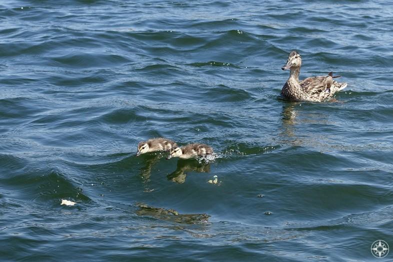 Baby ducks racing across the Ft. Collins reservoir.