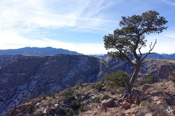 "Tree growing on the North Rim of the ""Grand Canyon of the Arkansas"". Snow covered Rocky Mountains beyond."