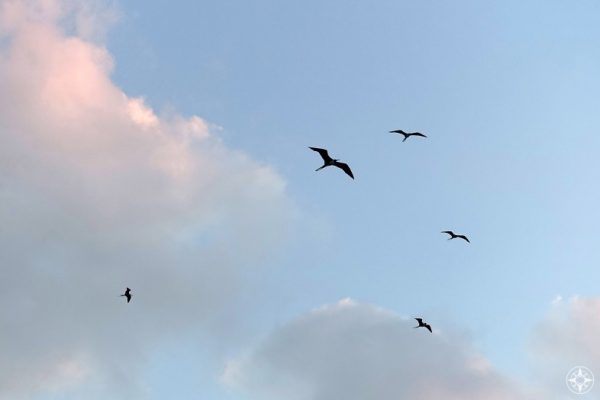 When it all gets to be too much, go see a frigate bird! Frigate birds flying above in Mexico sky, sunset clouds