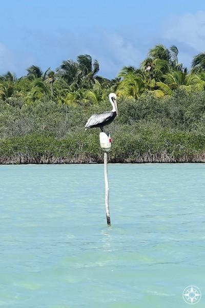 Pelican in the Sian Ka'an Lagoon.