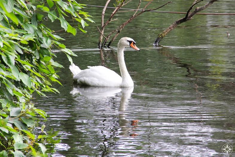 Swan on a pond in Tiergarten park, Berlin