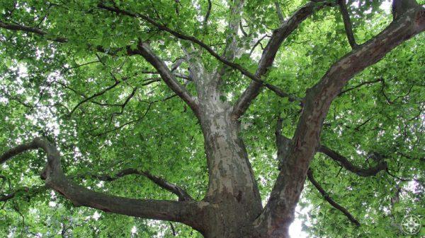 Green sunlit canopy of a Tiergarten Tree