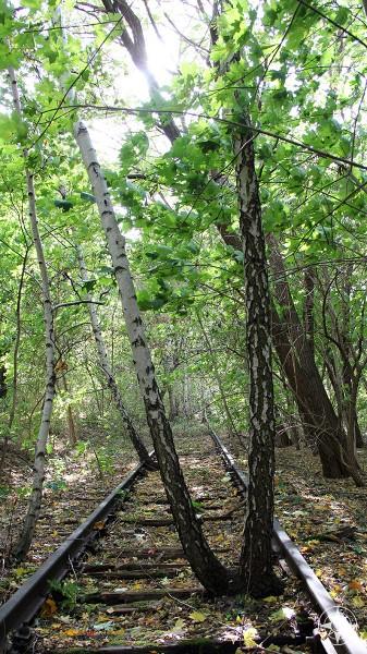 Birch tress grow tall in-between abandoned train tracks in Natur-Park Suedgelaende, Berlin, Germany