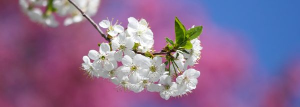 White apple blossoms, pink blossoms, blue sky, apple tree, Happier Place