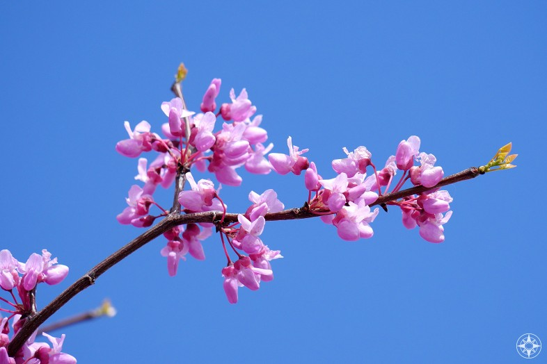 Pink spring blossoms high above Abiquiú Lake on what is probably a Western Redbud.