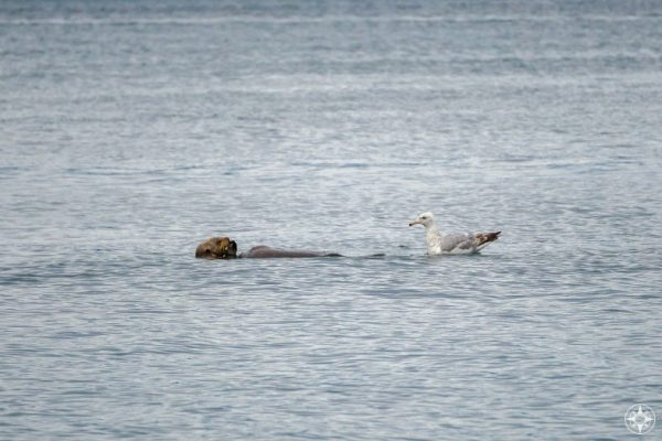 sea otter, gull, Kachemak Bay, Alaska