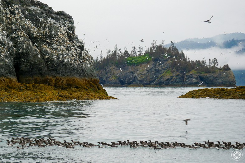 Common murres on the water, puffins in flight, kittiwakes (gulls) all over the rocks of Gull Island, Kachemak Bay, Alaska