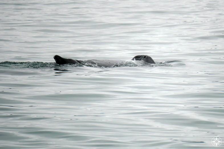 Humpback whale blowholes look like a nose, Kachemak Bay, Alaska