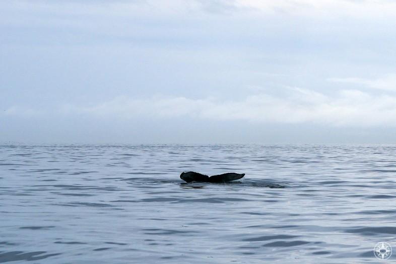 Humpback whale tail fin, Homer, Alaska