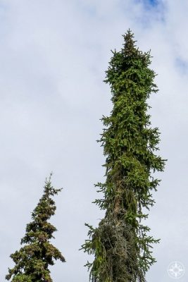Tall and skinny Black Spruce, Common pine tree in Alaska