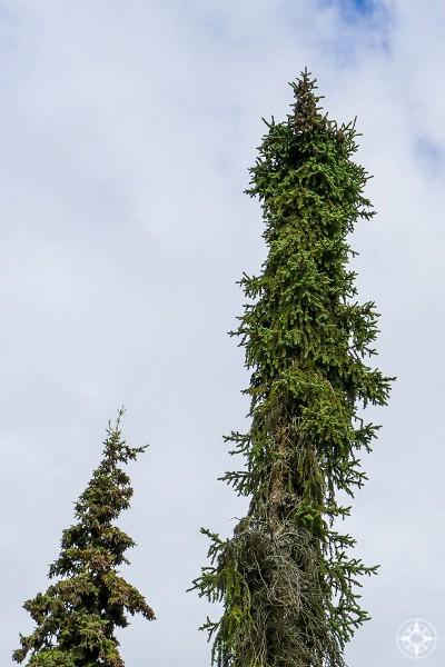 Tall and skinny Black Spruce, Common pine tree in Alaska