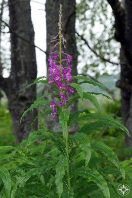 Pink fireweed wildflower blooming in the Alaskan foothills