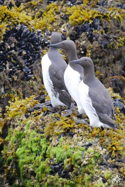 Black and white Common Murres on Gull Island in Kachemak Bay