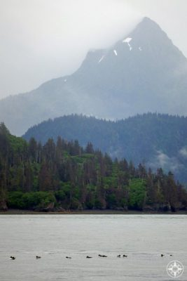 murres, puffins, birds, swim, mountains, island, Kachemak Bay, Alaska